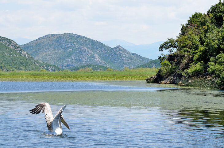 Things to do on Lake Skadar - take a boat cruise and see the rare Dalmatian Pelicans