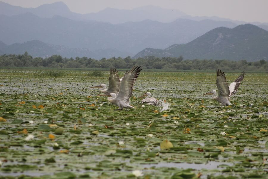 Rare Dalmatian Pelicans on Skadar Lake in Montenegro