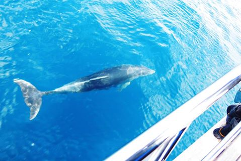 A curious dolphin swimming alongside a dolphin watching tour in Montenegro.