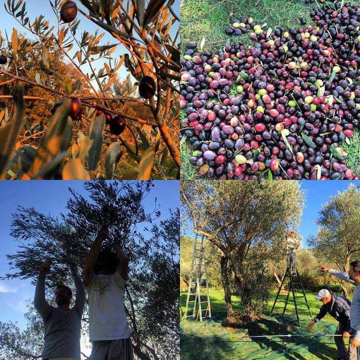Olive harvest on Lustica Peninsula in Montenegro