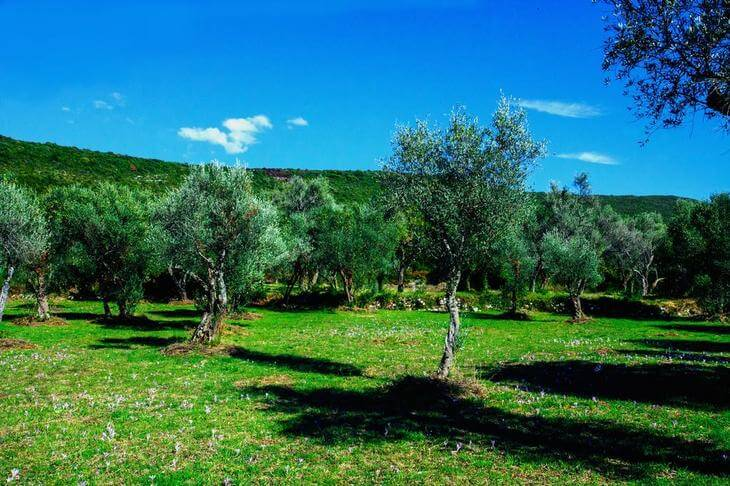 Olive groves on Lustica Peninsula, Montenegro