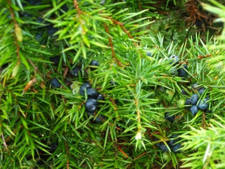 Wild blueberries on the 2 day Activity Break in Montenegro.